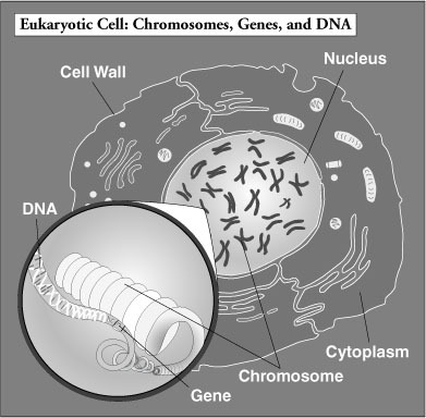 Genes and dna simple and complex cells chromosomes dna and genes genes and dna ccuart Gallery